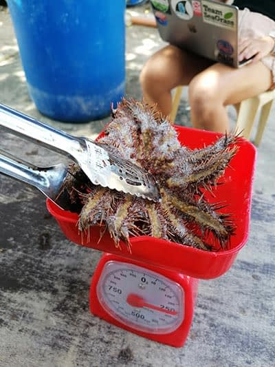 Crown of thorn starfish pose a real problem in the province of Cebu